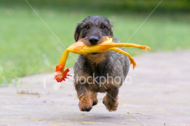Cute dog running with rubber chicken in mouth